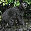 Black Bear Neets Bay Alaska by John Rowe