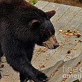 Black Bear Stepping Up In The World by Eva Thomas