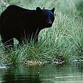 Black Bear Ursus Americanus by Raymond Gehman