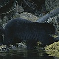 Black Bear With Her Young Cub Tagging by Joel Sartore