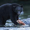 Black Bear With Salmon Carcass by Joel Sartore