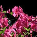 Black Beauty In Flight by Peg Urban