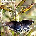 Black Beauty In The Bush by Travis Truelove