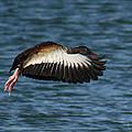 Black-belled Whistling-duck In Flight by Roena King