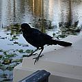 Black Bird by Val Oconnor