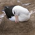 Black-browed Albatross Nesting by Charlotte Main