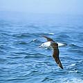 Black-browed Albatross by Peter Scoones