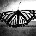 Black Butterfly by Julia Wilcox