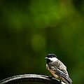 Black-capped Chickadee by  Onyonet  Photo Studios