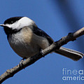 Black-capped Chickadee by Ronald Grogan