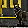 Black Cat Yellow Trim by Williams-Cairns Photography LLC
