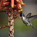 Black Chinned Hummingbird  by Saija  Lehtonen