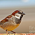 Black-chinned Sparrow by Robert Bales