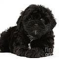 Black Cockerpoo Puppy by Mark Taylor