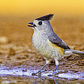 Black Crested Titmouse by Fred J Lord