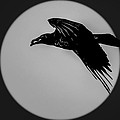 Black Crow by Marx Broszio