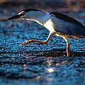 Black-crowned Night Heron by Alistair Lyne