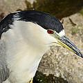 Black-crowned Night Heron  by Saija  Lehtonen