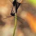Black Dragonfly Love by Sabrina L Ryan