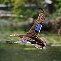 Black Duck by John Blanchard