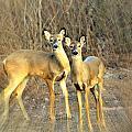 Black Ear Deer by Marty Koch