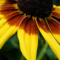 Black Eyed Susan by Kimmary MacLean
