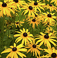 Black-eyed Susans by Stanley French