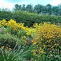 Black Eyed Susans by Terry Hunt
