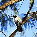 Black Faced Cuckoo Shrike V3 by Douglas Barnard