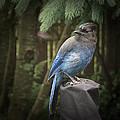 Black Headed Blue Jay by Don Saxon