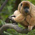 Black Howler Monkey Alouatta Caraya by Cyril Ruoso