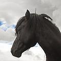Black Icelandic Horse Stallion by Kathleen Smith