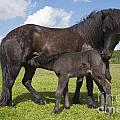 Black Icelandic Horse With Foal by Kathleen Smith