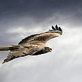Black Kite In Flight by Linda Wright