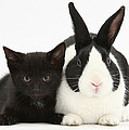 Black Kitten Dutch Rabbit by Mark Taylor