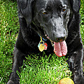 Black Lab Dog With A Ball by Elena Elisseeva