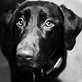 Black Labrador  by Sumit Mehndiratta