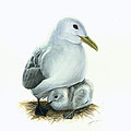 Black-legged Kittiwake Parent And Chick by Logan Parsons