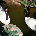 Black-necked Swans by David G Paul