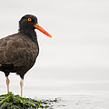 Black Oystercatcher  Martin Luther King by Sebastian Kennerknecht