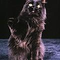 Black Persian Cat Reaches by Larry Allan