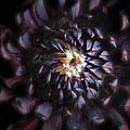 Black Purple Dahlia - Flower Photograph by Artecco Fine Art Photography