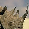 Black Rhinoceros Diceros Bicornis Close by Winfried Wisniewski