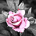 Black Rose by Steve McKinzie
