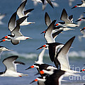 Black Skimmers Flock by Clarence Holmes