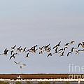 Black Skimmers In Flight by Louise Heusinkveld