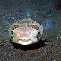 Black-spotted Porcupinefish by Georgette Douwma
