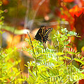 Black Swallow Tail Butterfly In Autumn Colors by Peggy Franz