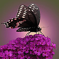 Black Swallowtail 1 by Torie Tiffany
