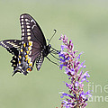Black Swallowtail Butterfly Feeding by John Van Decker